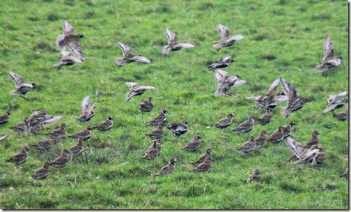 11 golden-plovers-1