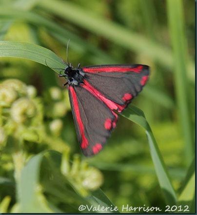 38-cinnabar-moth