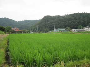 Rice fields near the Kindergarten...