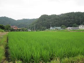 Rice fields near the Kindergarten...