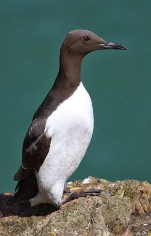 Amazing Pictures of Animals, Photo, Nature, Incredibel, Funny, Zoo, Guillemots, seabird, Bird, Alex (6)