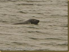 Gray Seal MSB_7605 NIKON D300S June 12, 2011
