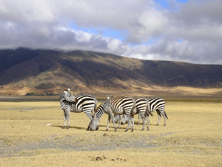 Safari travel: Zebras in Ngorongoro