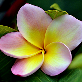 Pink Frangipani 115 by Mark Zouroudis - Flowers Tree Blossoms