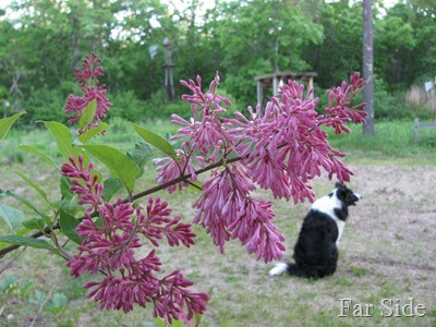 The Lilac June 4