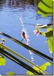 Yellow Garden Spider - Argiope aurantia