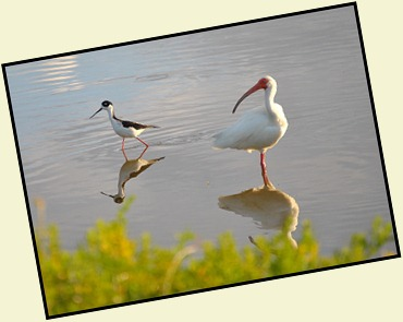 09f - Black-necked Stilt and Ibis...what is that
