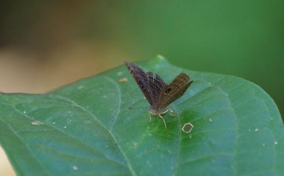 Mesosemia cippus HEWITSON, 1859. Patawa (Montagne de Kaw), 24 octobre 2012. Photo : J.-M. Gayman