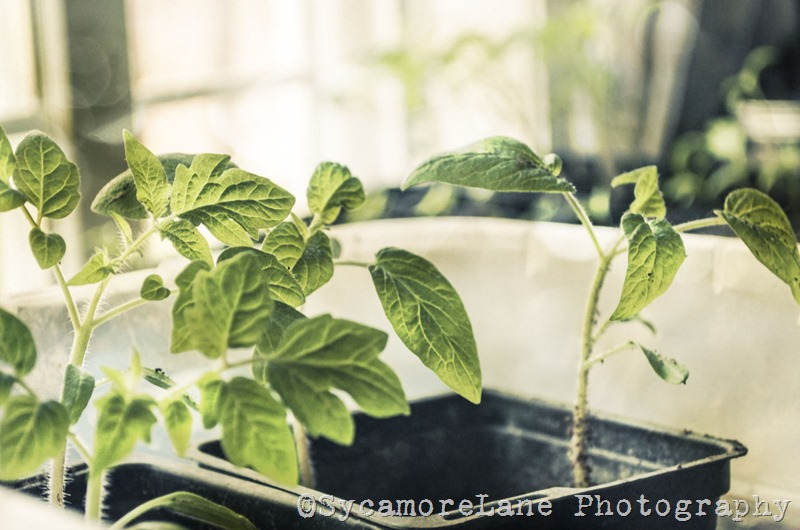 Starting tomatoes-SycamoreLane Photography