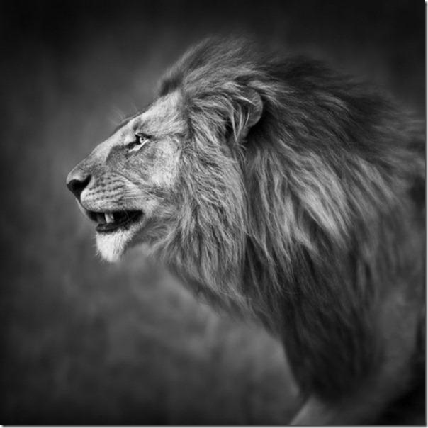 Fotos preto e branco de animais selvagens (27)