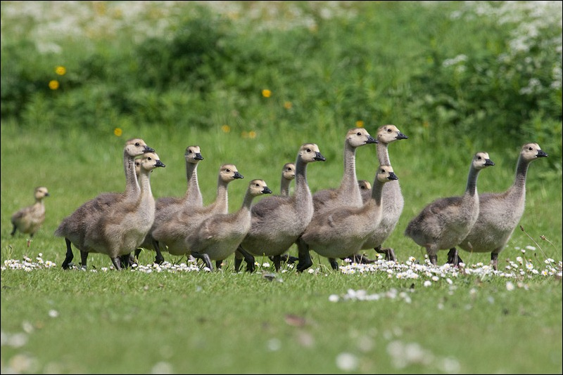 Canada Geese young