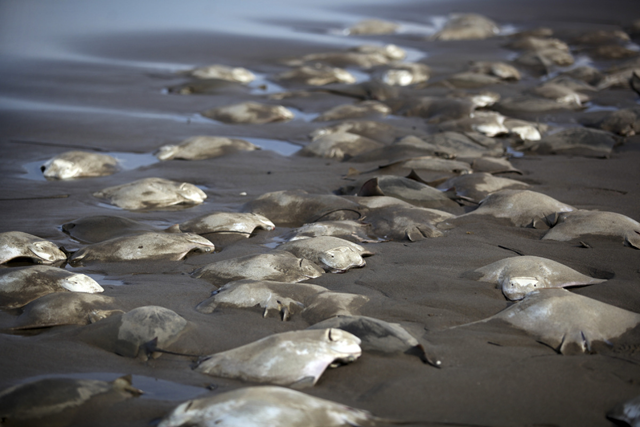 Stingray carcasses litter the shore of the Chachalacas beach near the town of Ursulo Galvan on Mexico's Gulf Coast, Tuesday, 16 July 2013. Mexican authorities are investigating the death of at least 250 stingrays. Ursulo Galvan Mayor Martin Verdejo says witnesses told authorities fishermen dumped the stingrays on the beach because they weren't able to get a good price for them. Chopped stingray wings are commonly served as snacks in Veracruz restaurants. Photo: Felix Marquez / AP