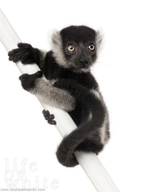 Young Black-and-white ruffed lemur (Varecia variegata subcincta) - (2 months old)