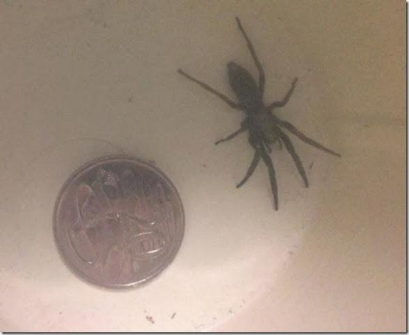 australia-scary-spiders-011