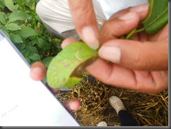 Gambar 1. Dampak dari serangan liriomyza