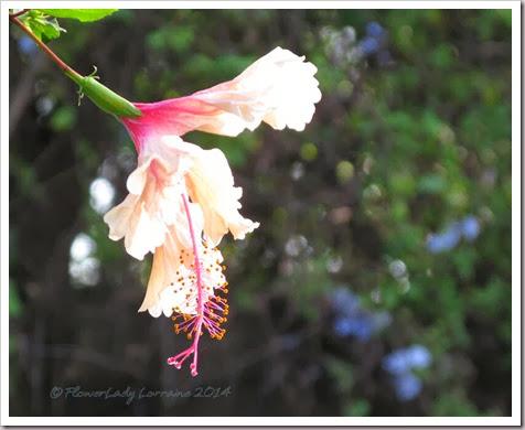 01-14-hibiscus