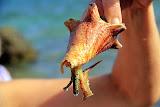 A Sea Snail, One of Calvin's Sea Critters - Philipsburg, St. Maarten