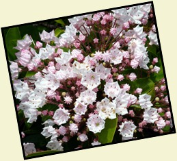 9b3 - Maine Welcome Center Mountain Laurel