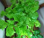 14-15 week summercrisp lettuce, less productive and getting a bit bitter