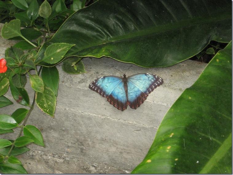 Farfalle 017