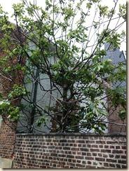Borgloon, Graaf, nabij de Wellenstraat: een vijgenboom