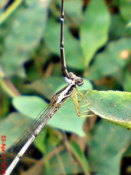 damselfly mating_capung jarum kawin 8