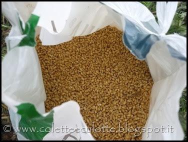 I bambini delle classi 1° della Scuola Primaria di Padulle piantano il grano! (3)