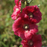 Althaea rosea - Rose Tremière