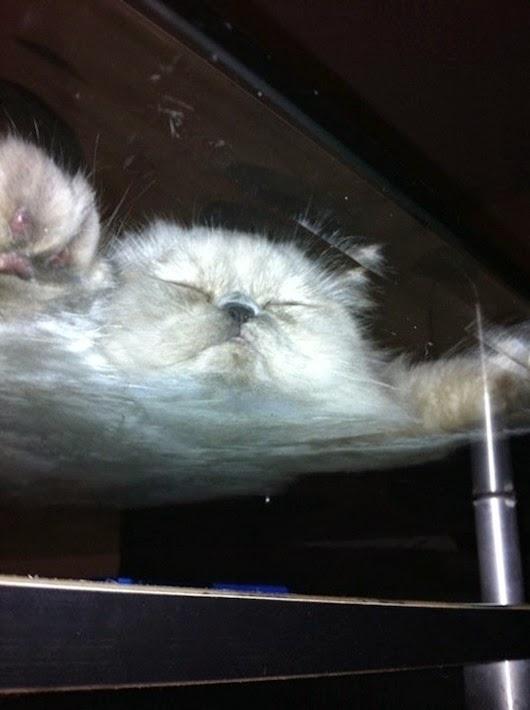 вид-снизу-коты-на-стеклянных-столах-5