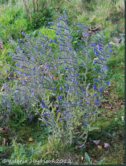 20-vipers-bugloss