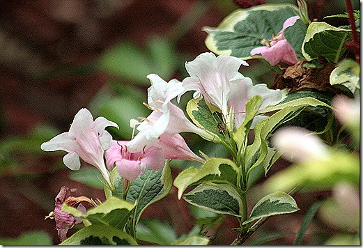 Weigela_Variegated_GrandDaddy