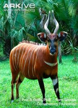 Amazing Pictures of Animals, photo, Nature, exotic, funny, incredibel, Zoo, Western or Lowland bongo, Tragelaphus eurycerus eurycerus, Mammals, Alex (7)