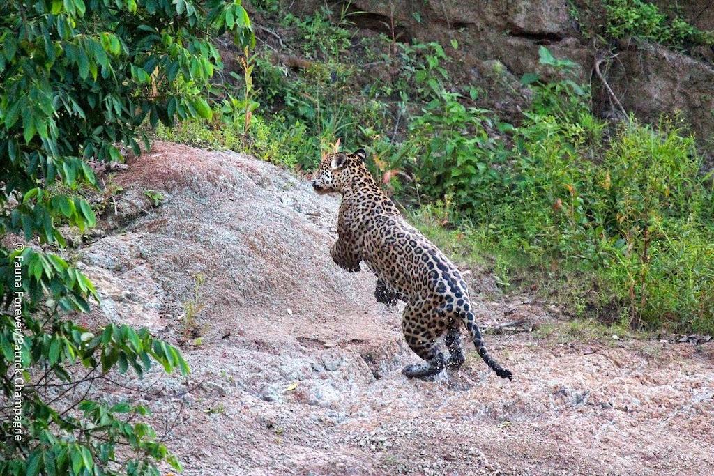 Jaguar by Patrick Champagne