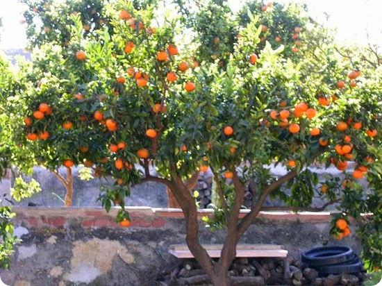 Le propriet benefiche del mandarino green galletti for Mapo frutto