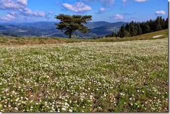 Beau tapis de Camomille sauvage ou Matricaire tronquée (Matricaria recutita) au col.