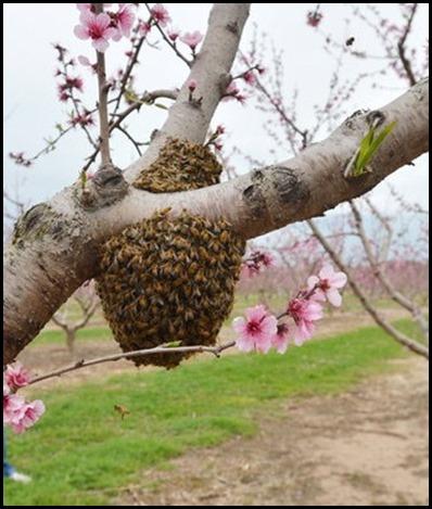 peach tree4
