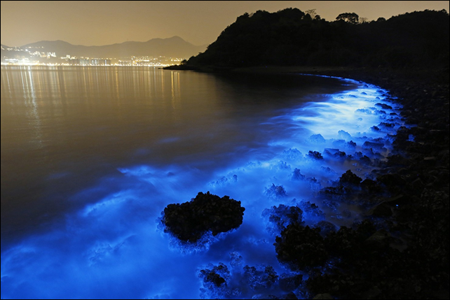 A Noctiluca scintillans bloom along the seashore in Hong Kong, 22 January 2015. These blooms are triggered by farm pollution that can be devastating to marine life and local fisheries. Photo: Kin Cheung / AP Photo