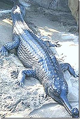 Crocodilia-Gavialis