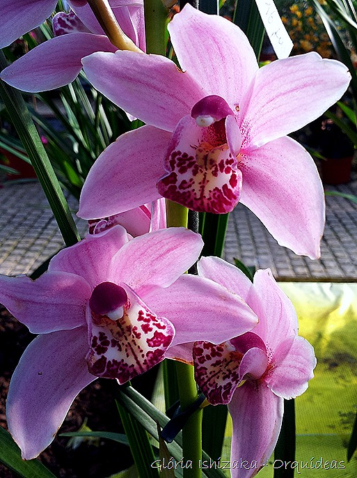 Glória Ishizaka - orquideas 37