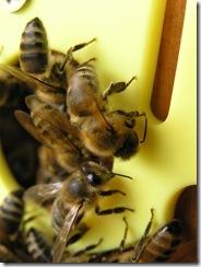 3,9,2011 včelí hoblování 348