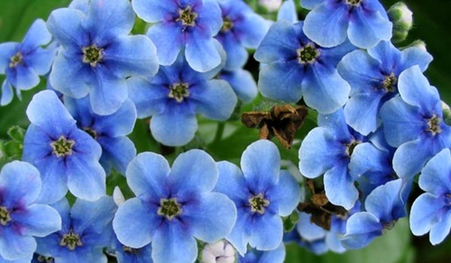 blue-chatham-island-flower