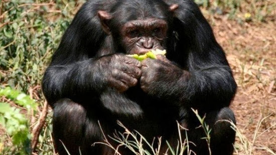 chimpanzee research paper