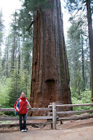 Kristy and the redwood