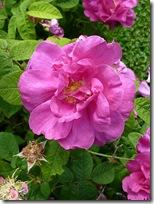double wild rose