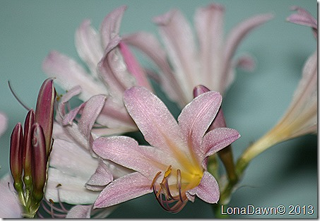 Lily_Resurrection_Lycoris squamigera