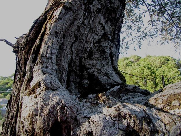 Γέρικη ελιά στο Ραχίδι, που βγάζει δάκρυ