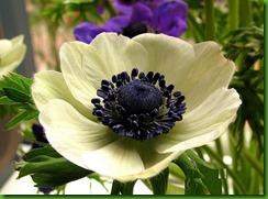 Anemona Branca