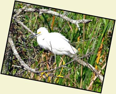09 - Snowy Egret