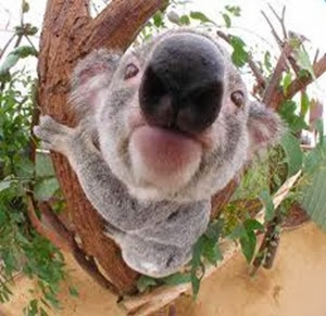 Amazing Pictures of Animals, Photo, Nature, Incredibel, Funny, Zoo, Koala, Phascolarctos cinereus, Alex (19)