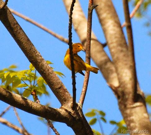 1. yellow warbler-kab